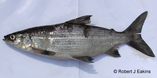 Blackfin Cisco photograph