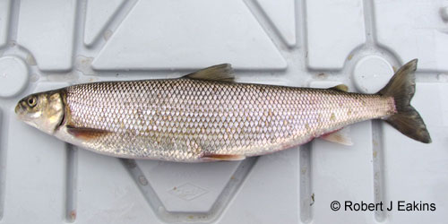 Round Whitefish photograph