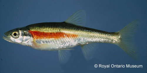 Redside Dace photograph