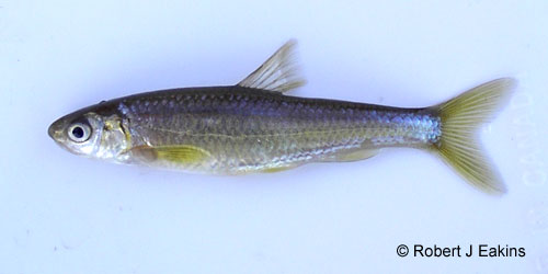 Eastern Silvery Minnow photograph