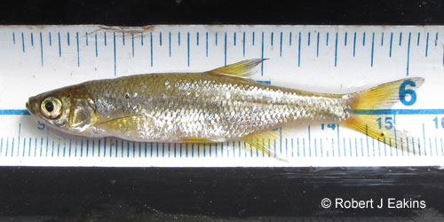 Golden Shiner photograph