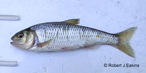 Striped Shiner photograph