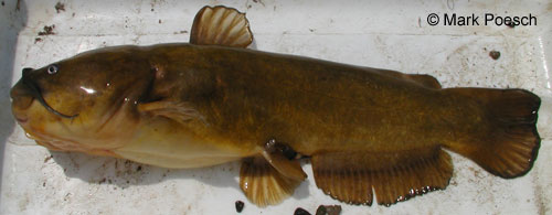 Yellow Bullhead photograph