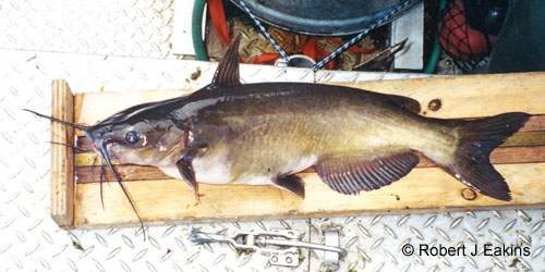 Channel Catfish photograph