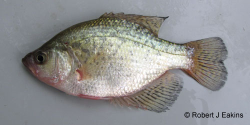 Black Crappie photograph