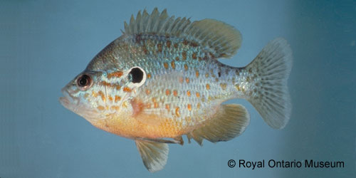 Orangespotted Sunfish photograph