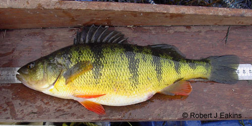 Yellow Perch photograph
