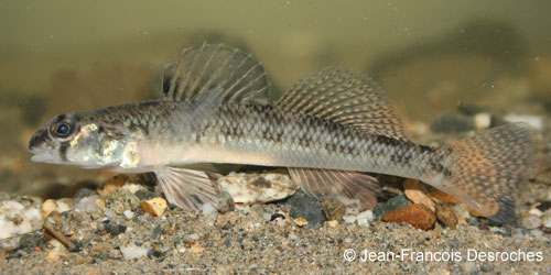 Tessellated Darter photograph
